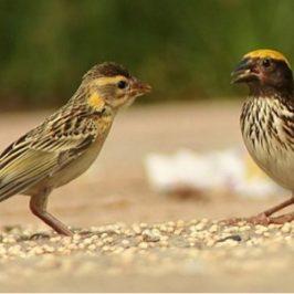 Bahasa Sasmita dari Burung-Burung Manyar